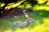 Large adult gray hare with long ears in full growth on green grass on sunny day. Close up of cute grey bunny sitting on green grasses in the park. Brown hare. Beautiful Norfolk wild coney sat on lawn.