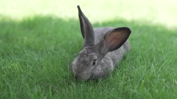 Close-up of a beautiful gray rabbit eating on a green grass lawn. Hare sits on green grass in summer on a sunny day. Vegan and meat-free diet. Fur is for animals only. Only artificial fur coat