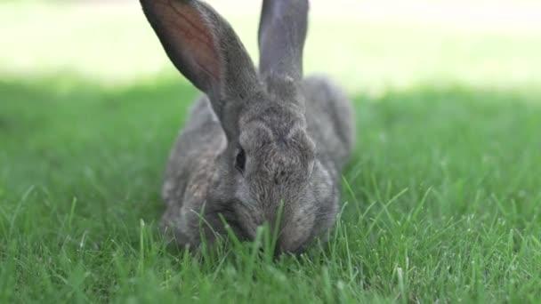 Große erwachsene graue Hasen mit langen Ohren in vollem Wuchs auf grünem Gras an sonnigen Tagen. Nahaufnahme eines niedlichen grauen Hasen, der auf grünen Gräsern im Park sitzt. Brauner Hase. Schöne Norfolk wild coney saß auf dem Rasen