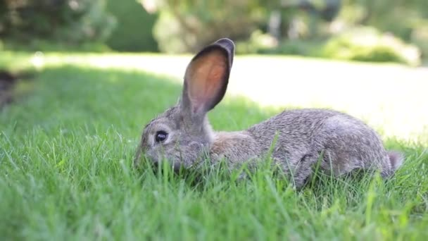 Large adult gray hare with long ears in full growth on green grass on sunny day. Close up of cute grey bunny sitting on green grasses in the park. Brown hare. Beautiful Norfolk wild coney sat on lawn