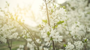 A branch of cherry blossoms in the spring