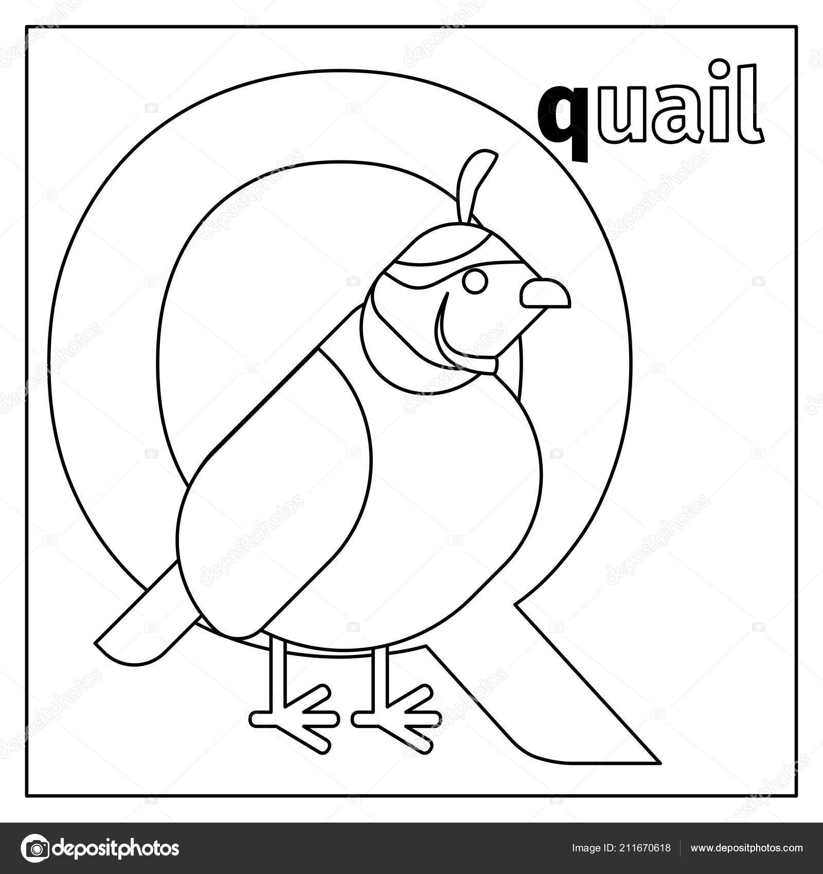 Quail Letter Q Coloring Page Stock Vector C Ssstocker 211670618