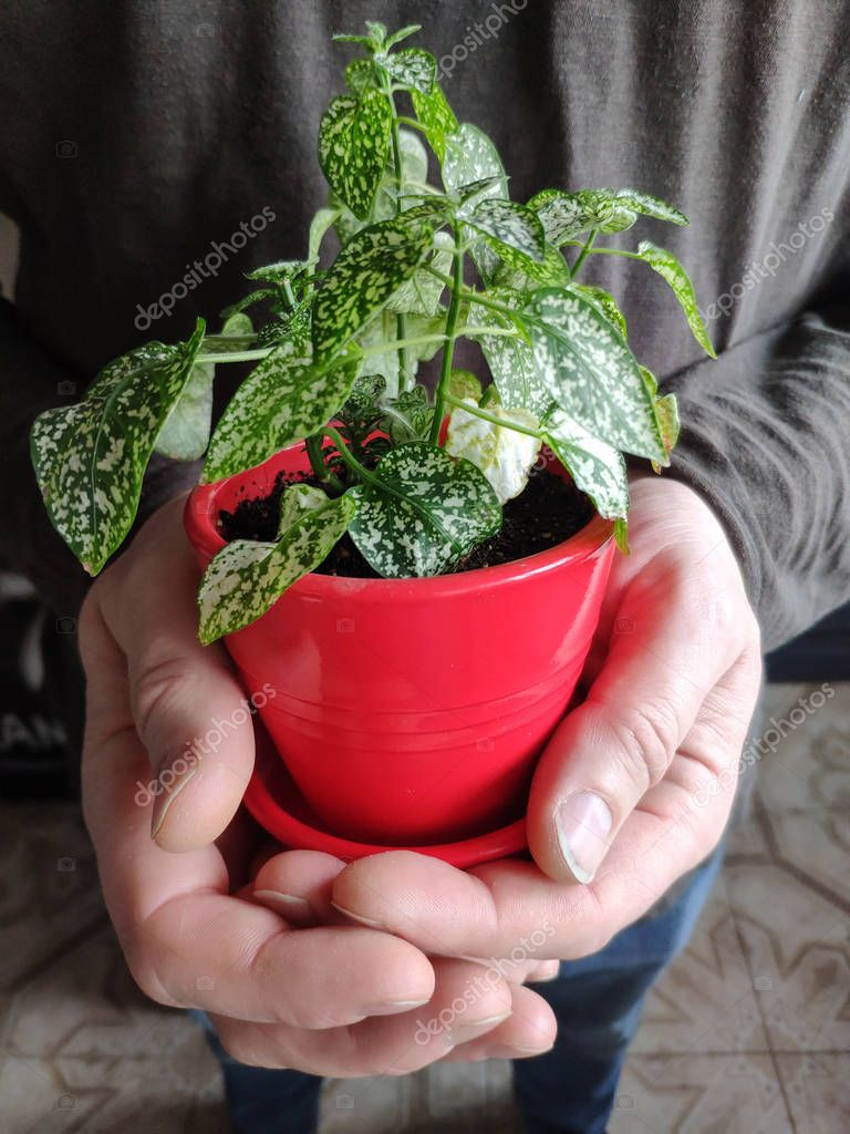 Closeup of male hands holding a red pot with green houseplant, Earth Day