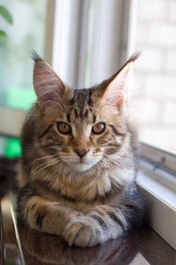 A picture of a Maine Coon kitten sitting on a window-sill near an open window