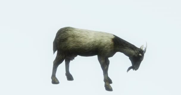 4k alone sheep or antelope eating grass,livestock,animal silhouette.