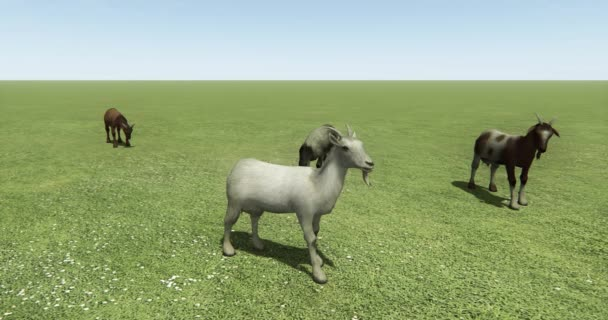4k four sheep or antelope eating grass on prairie,livestock,animal.