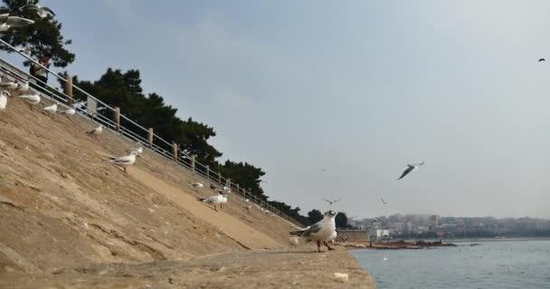 Čína Qingdao-Duben 15, 2018:4 k racků létají přes oceán a pláž v denní dobu turisté krmení Racek