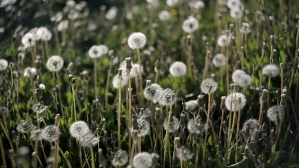 Many dandelions on the lawn in the park on a hot summer day become windy from the wind.Nature