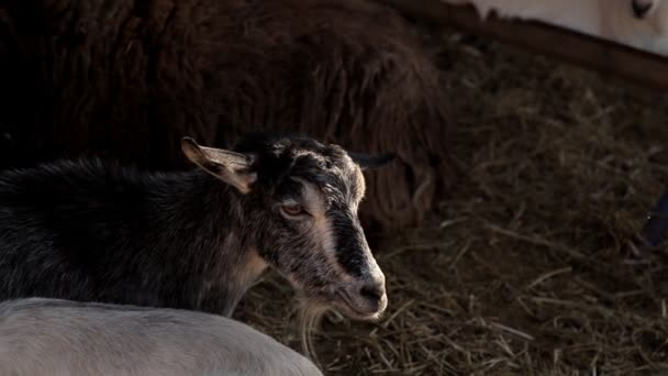 Goat walks around the farm