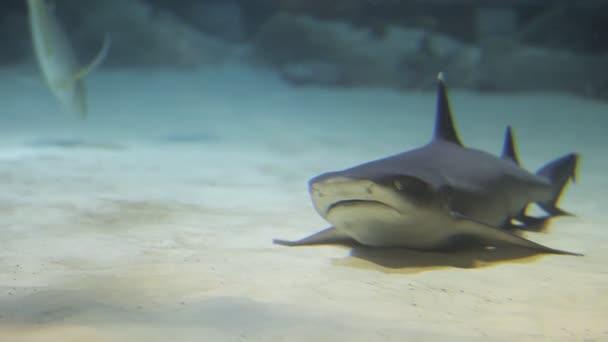 Cápák úszik a trópusi vizekben. Cápa úszás víz alatt a Oceanarium. Víz alatti élővilág és vadon élő állatok. Lenyűgöző víz alatti merülés a zátony cápák a zátonyon