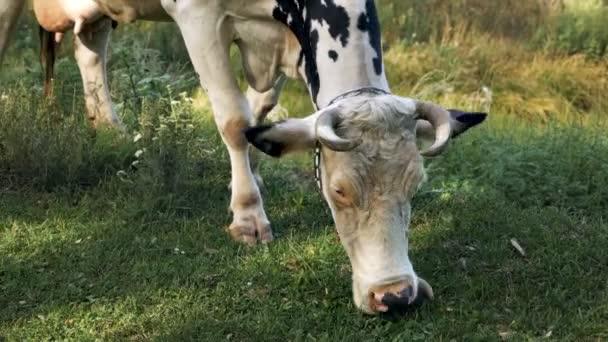weiße junge Kälber an eine Kette gebunden auf einem grünen Rasen, der Gras kaut. Weiden, Kühe, Rinder, Nutztiere