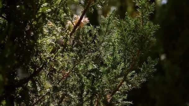 Zöld szúrós ágak fenyő vagy fenyő a nap. Gyönyörű zöld lucfenyő a kertben a nyári erdőben. Növények