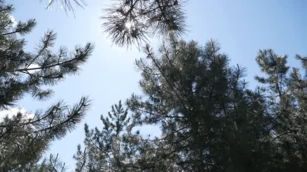 Borovicové nebo smrkové větve se pohybují ve větru. Sluneční světlo skrz jehly. Krásné zelené ostnaté větve při západu slunce. Okouzlující přírodní pozadí