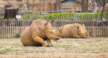 Family of rare white rhinoceroses at the seoul south korea