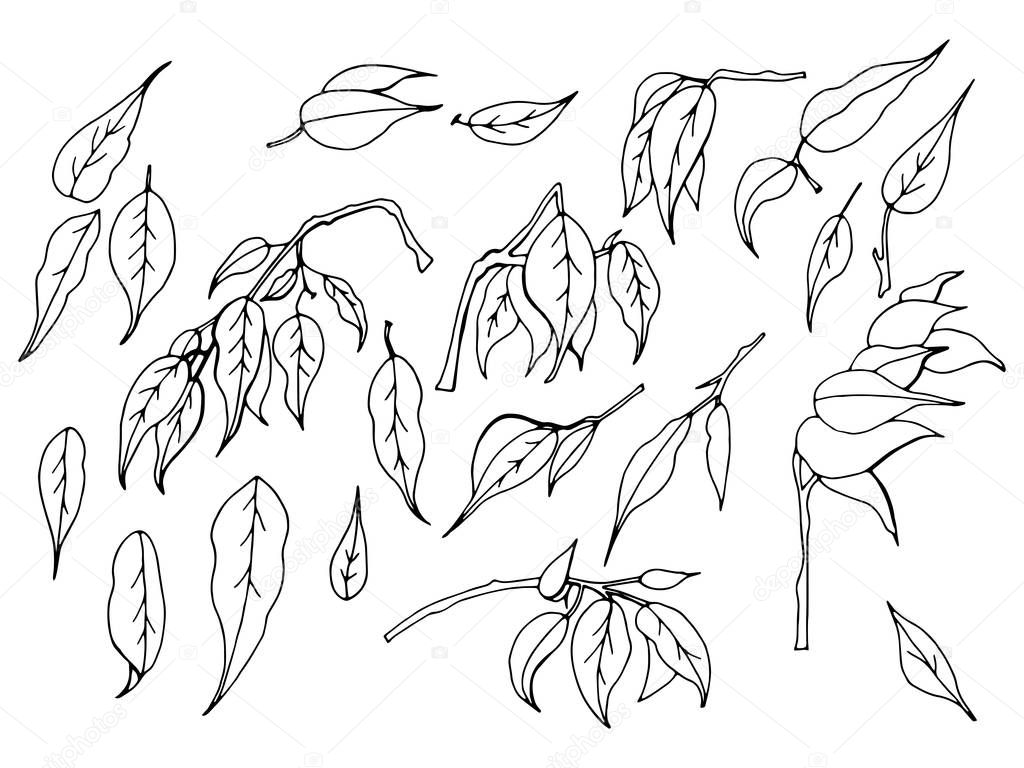 A set of black and white hand-drawn leaves of ficus benjamin on a white background