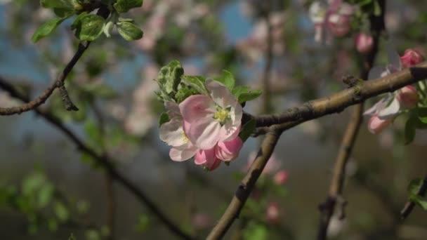 Kvetoucí sakura v zahradě