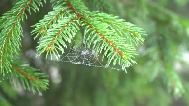 Pine branch with cobwebs