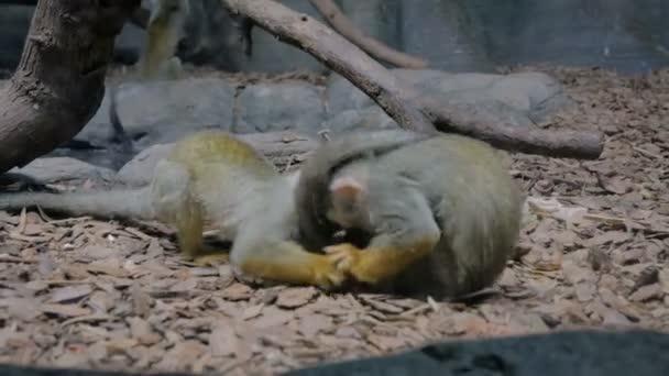 Malá vtipná veverka opice skákání, hrát spolu