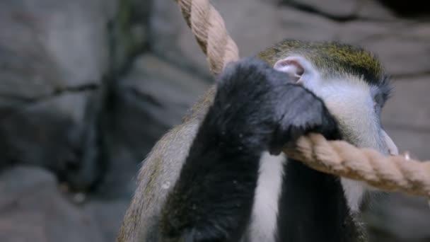 Zöld majom lóg a kötelet
