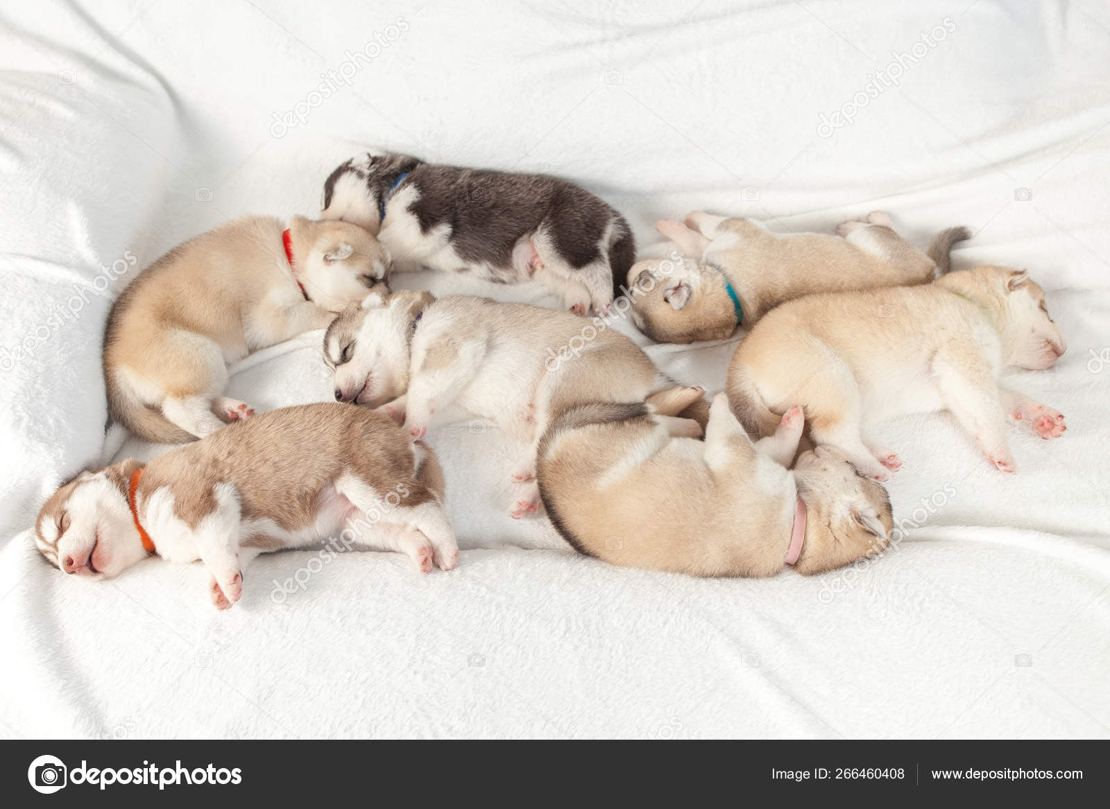 Beautiful Siberian Husky Puppies New Born Stock Photo C Lobodaphoto 266460408