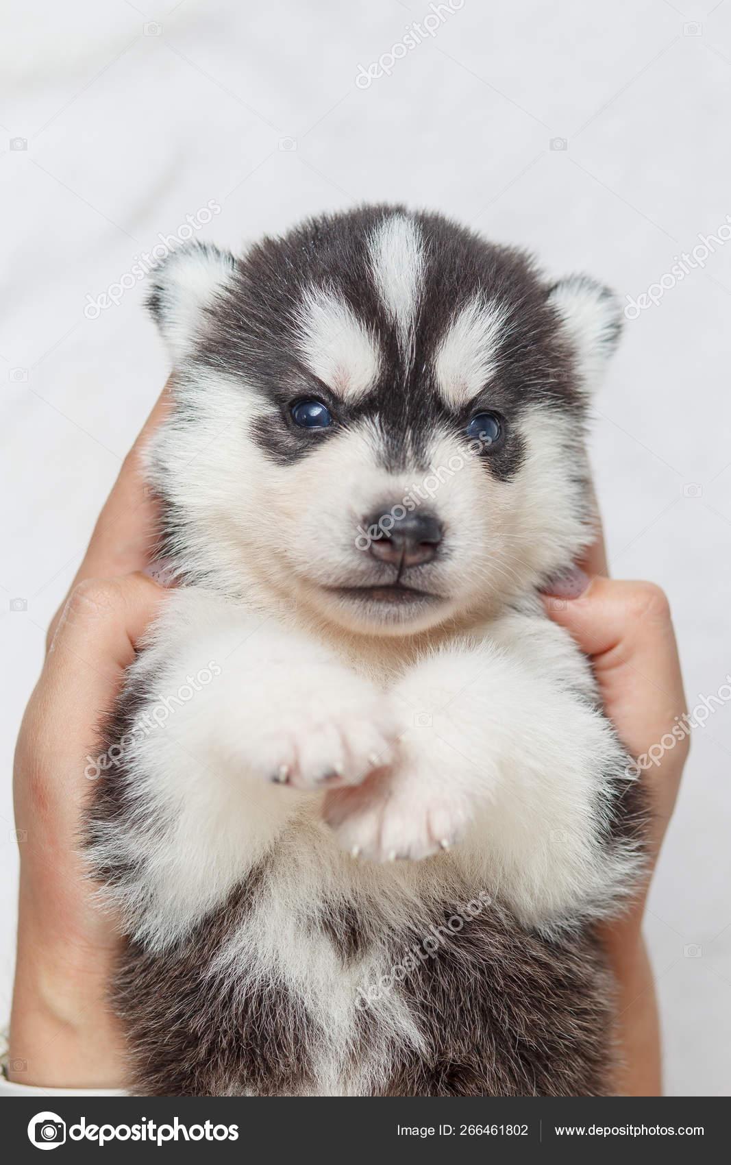 Beautiful Siberian Husky Puppies New Born Stock Photo C Lobodaphoto 266461802