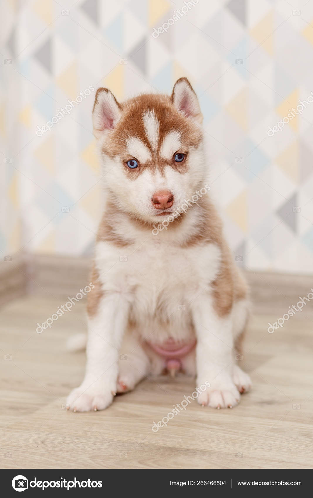 Beautiful Siberian Husky Puppies New Born Stock Photo C Lobodaphoto 266466504
