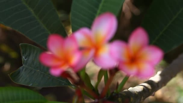 Beautiful pink Plumeria closeup