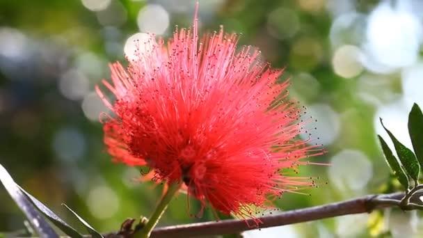 Tropická květina Šárka kvetoucí v Thajsku