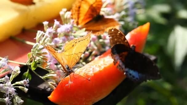Tropických motýlů se živí ovocný nektar