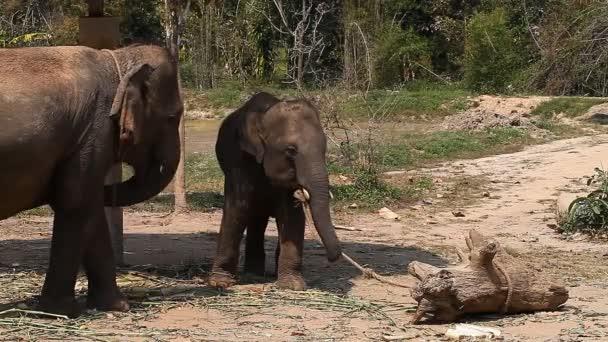 A family of Asian elephants on an elephant farm in Thailand