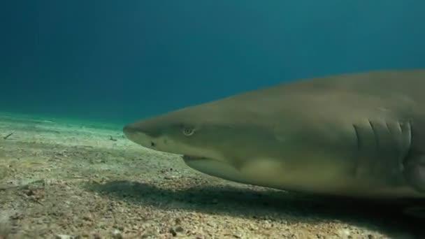 Citrom cápák-homokos tenger fenekén közeledik, és halad át szoros trópusi tiszta víz a Bahama-szigeteken. 50p forgatott tökéletes lassított szerkesztésre