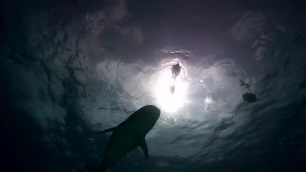 tigriscápa közeledik, és egyre közel át a homokos óceán fenekén a trópusi tiszta víz a Bahama-szigetek. Freediver a háttérben