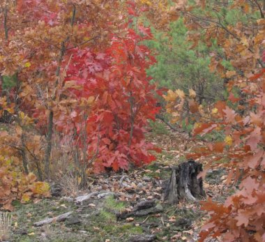 autumn pine and oak forest