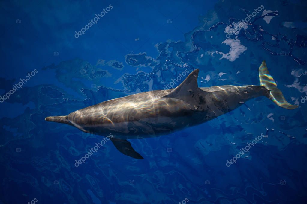 A Spinner dolphin cruises through the calm, blue waters of the Pantar Strait in Indonesia. This cetacean species is one of the most acrobatic and often can be seen jumping and spinning in the air.