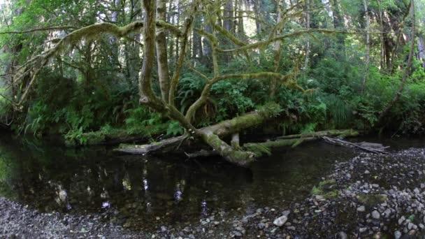 Bujný růst rostlin se daří podél proudu v národním parku Redwood v severní Kalifornii. Tato oblast je velmi vlhký kvůli všudypřítomné mořské vrstvy, která teče z Tichého oceánu.