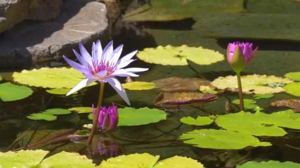 Leknín v rybníku