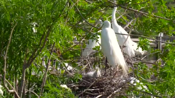 Velký pták volavka hnízdo s mladých kuřat. Ptačí hnízda