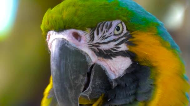 Papoušek papoušek modro a žlutá zblízka