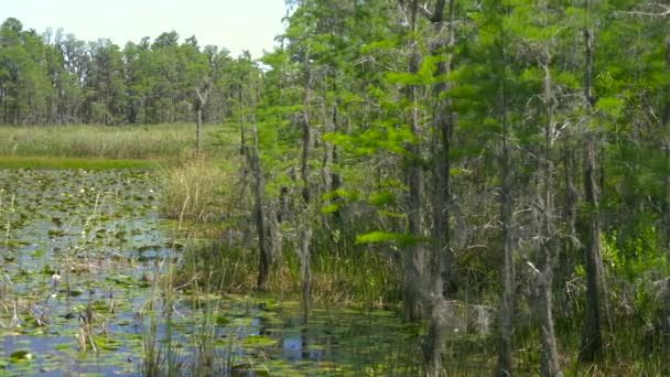 Lush green swamp in tropical forest environment. Swamp in the forest. Trees on swamp. Beautiful nature landscape in park or forest in Florida. USA. Panorama shot. View of wetland swamp forest lake.