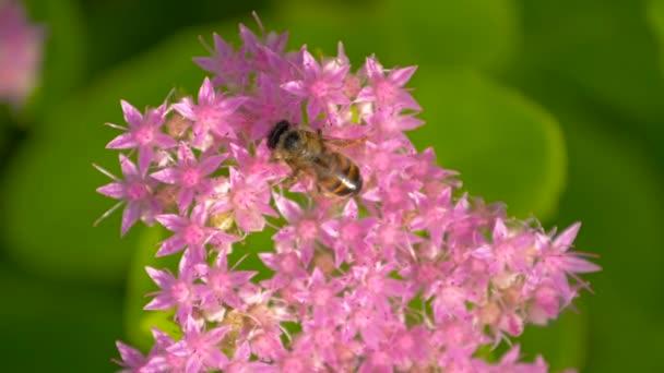 Bee összegyűjti nektár a rózsaszín virág. Felülnézet.