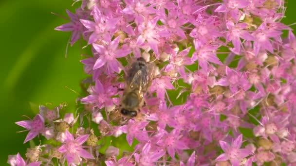 Bee összegyűjti nektár a virág rózsaszín virág