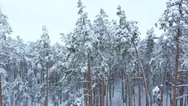 Alacsony repülés havas lucfenyő erdőben télen.