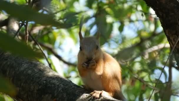 Cub of a small red squirrel hides in branches and eats a nut