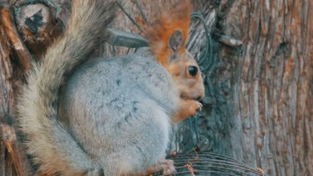 A small gray squirrel with a red tail and ears eats nuts on a wood background close up view