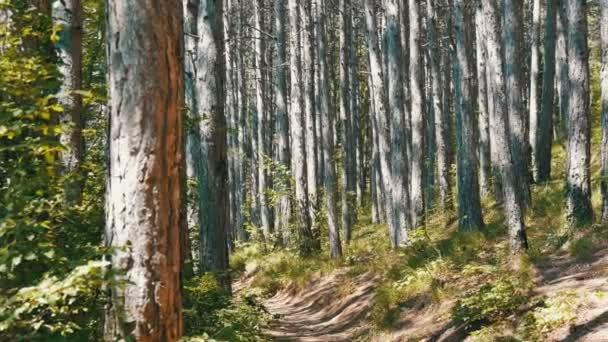 Bellissimo bosco di montagna. Lisci tronchi di alberi di pino in montagna