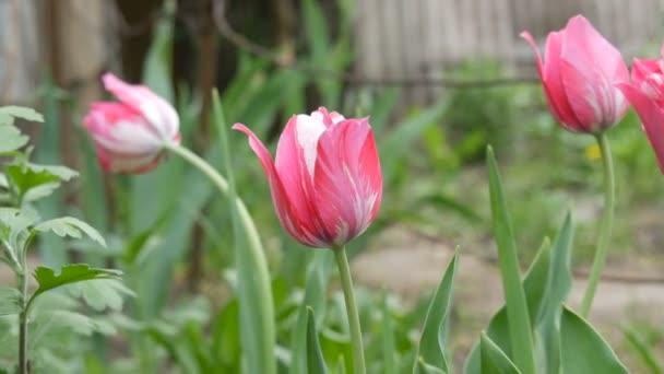 Jemné růžové tulipány pěstovat v zahradě