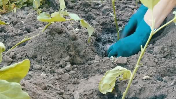 Ženské ruce v modré rukavice pěstování lilku