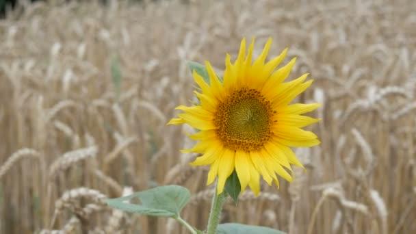 Osamělá mladá slunečnice v pšeničné pole na pozadí pšenice bodce