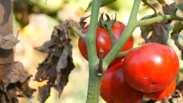 Zralé rajče ovoce na rostlině. Sklizeň rajčat v zahradě