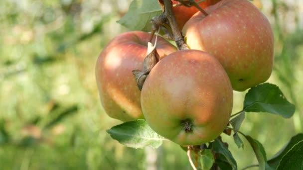 Pečená červená jablka visí na větvi v zahradě